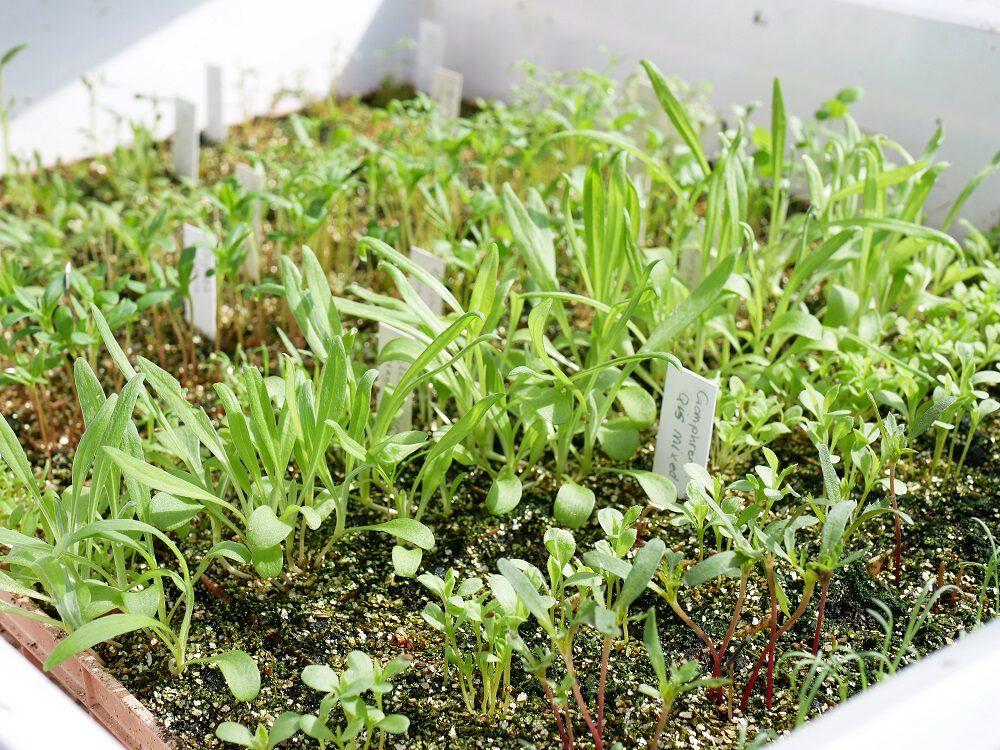 diana-foto-4-bloemen-zaailingen-in-tray