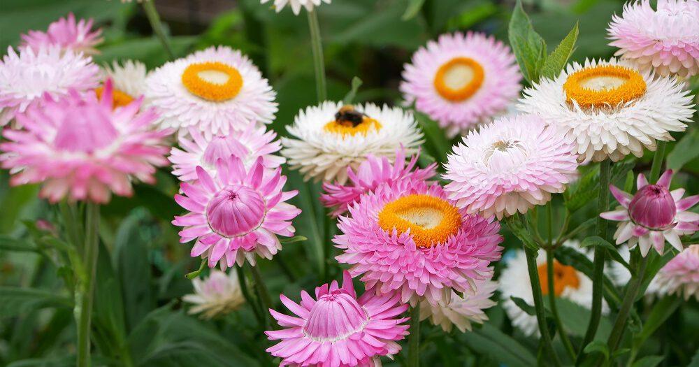 Goudstrobloemen in verschillende tinten roze en wit genaamd Silvery Rose