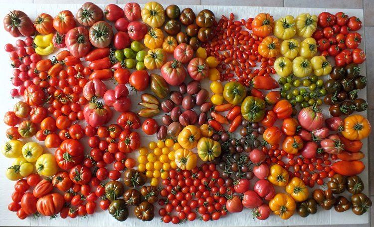 foto-5-tomaten-overzicht-diana