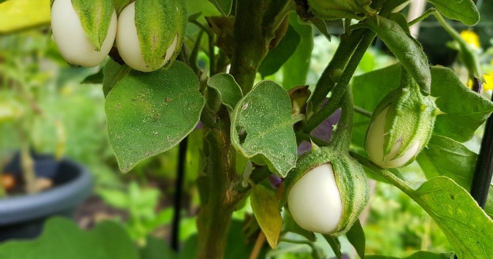 Kleine onrijpe aubergines aan een aubergineplant