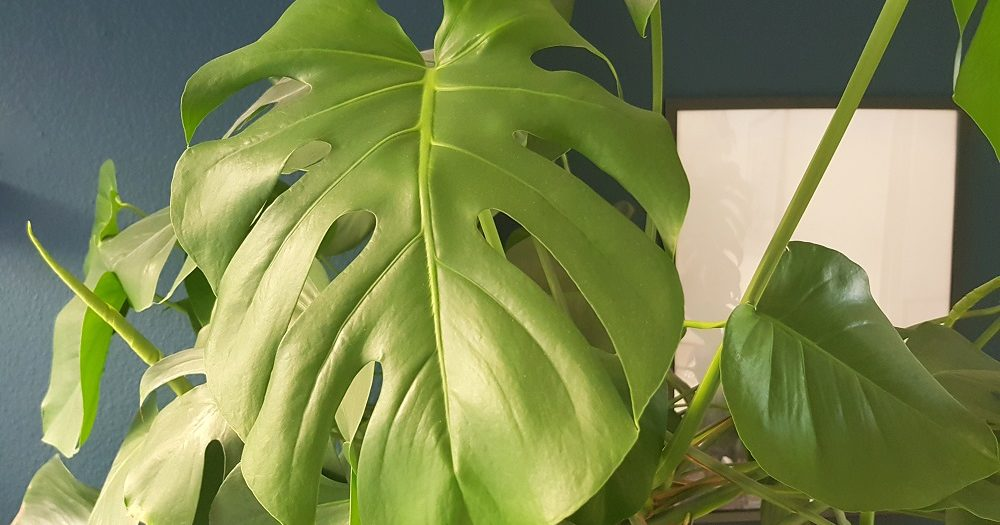 monstera stekken gatenplant