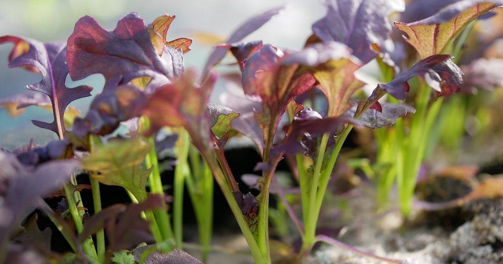 Mosterblad (bladmosterd) Crimson Red in de grond