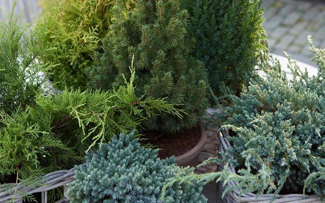 Boom In Pot Op Balkon.Een Kerstboom Op Je Balkon Of Terras Pokon Groen Doet Je Goed