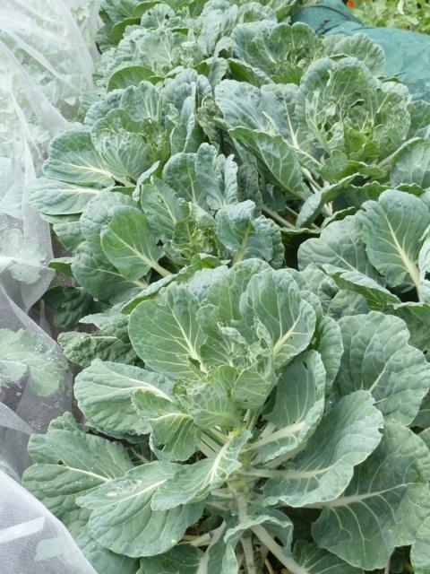 Spruitkool - plant