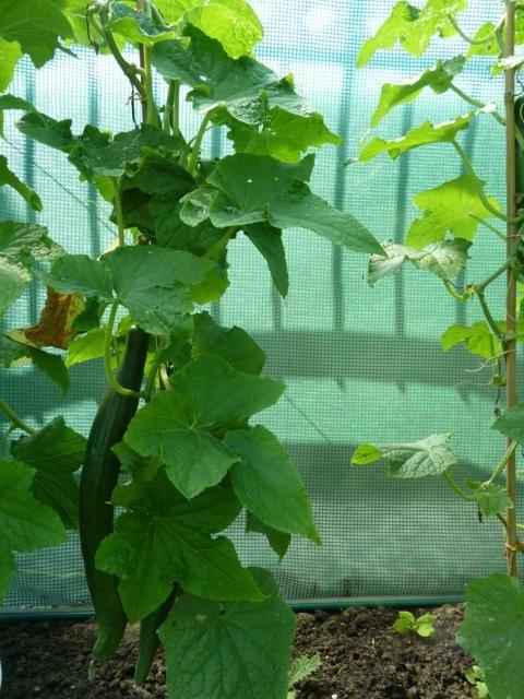 Komkommer - plant