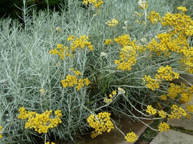 Kerrieplant - bloem
