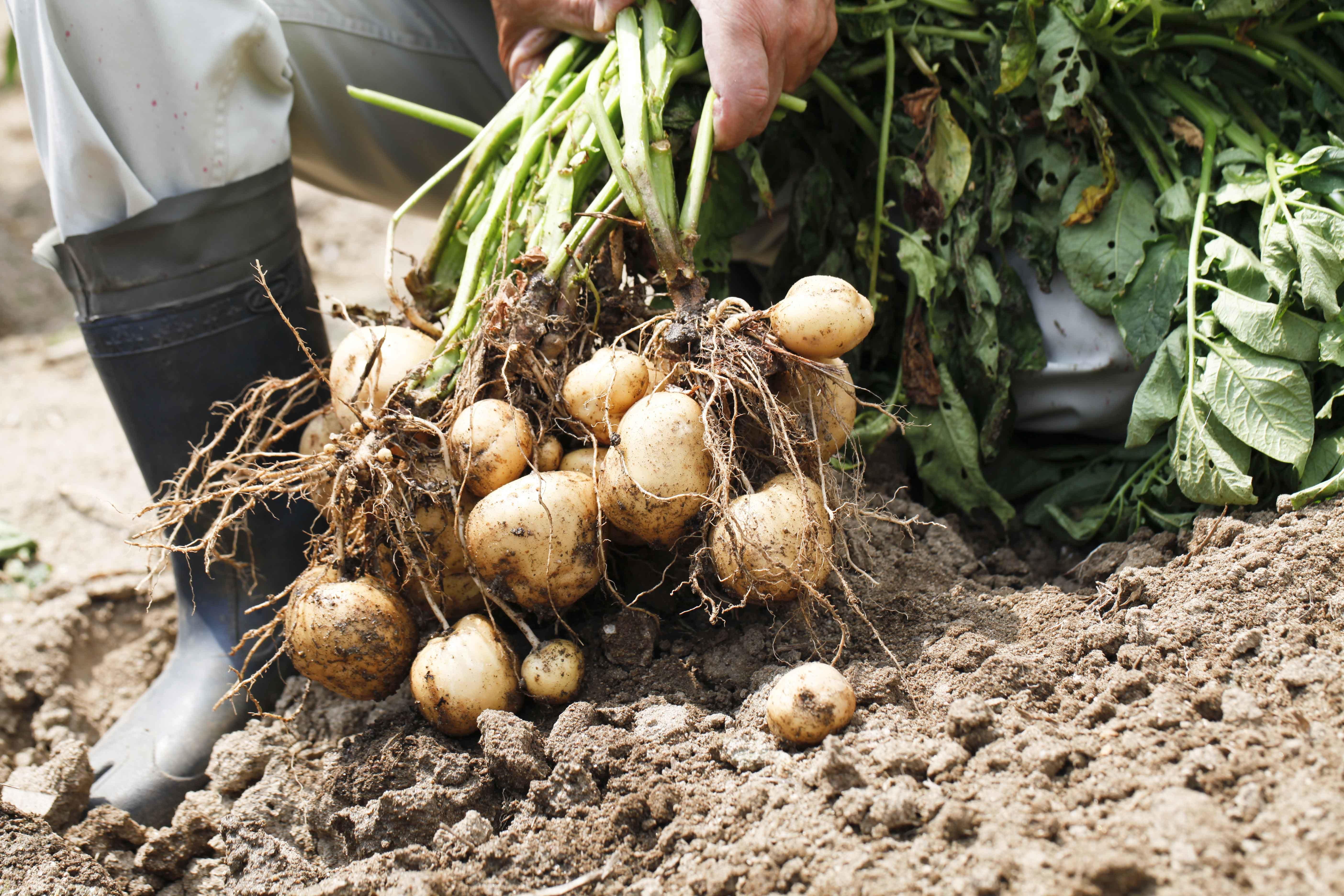 Aardappel oogsten