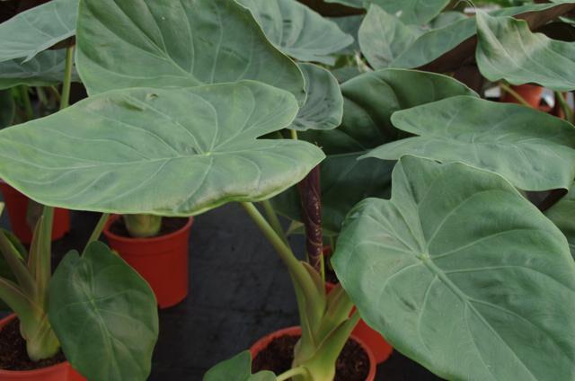 Olifantsoor close-up blad