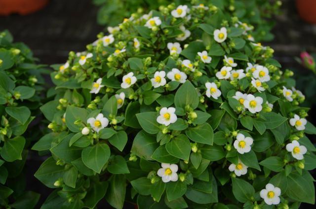 Bitterblad witte bloemen