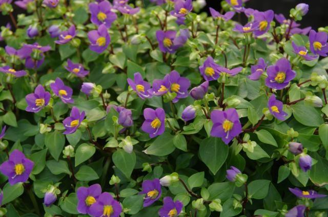 Bitterblad paarse bloemen