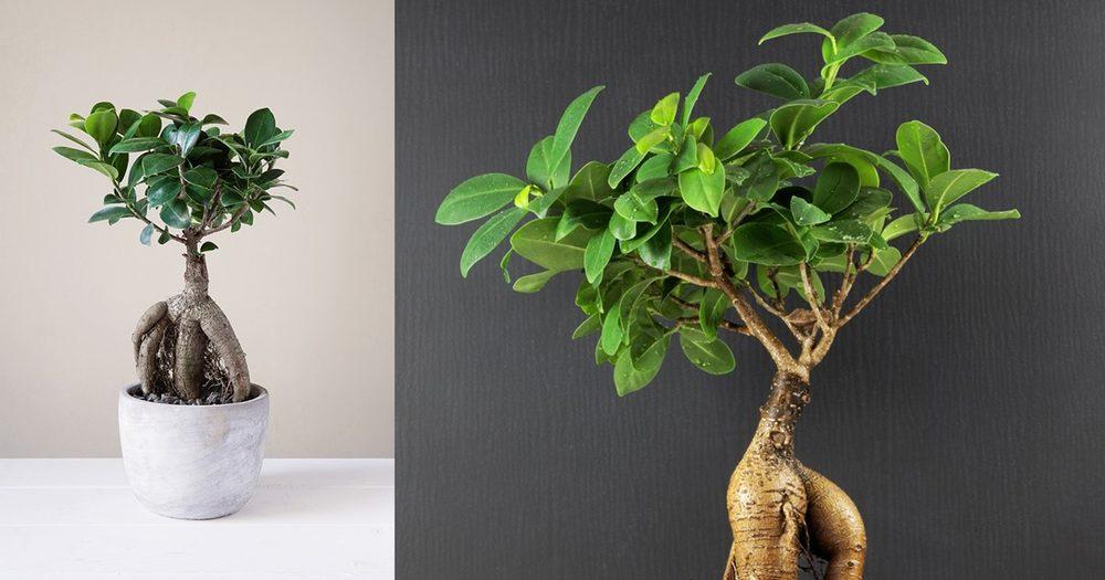 bonsai ficus