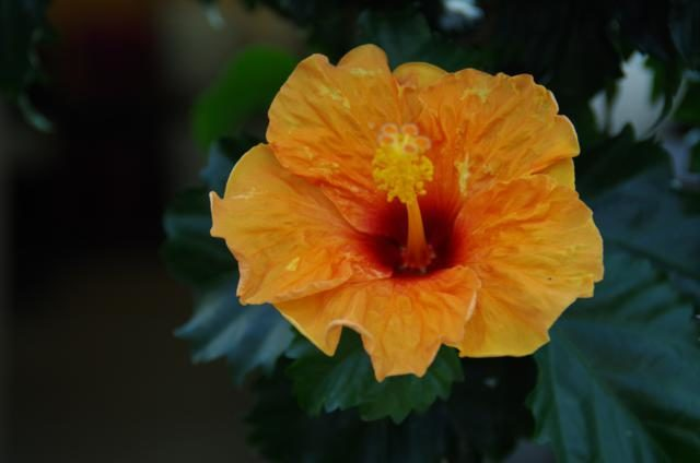 Chinese roos Hibiscus oranje
