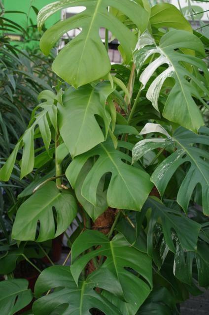 Gatenplant meerdere bladeren
