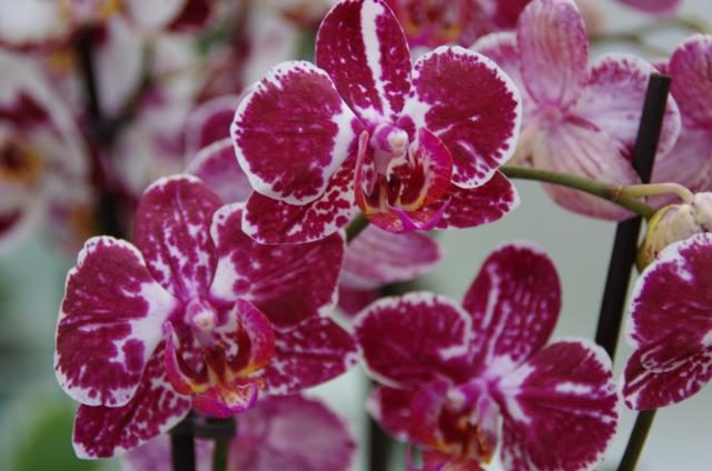 Orchidee paars wit