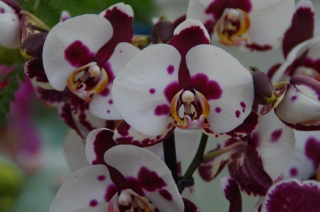 Orchidee wit met paarse vlek