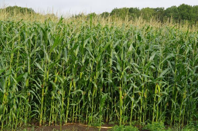 Mais - veld