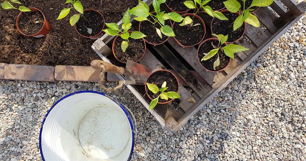 De voorgezaaide jonge plantjes van Floor van Floors moestuin