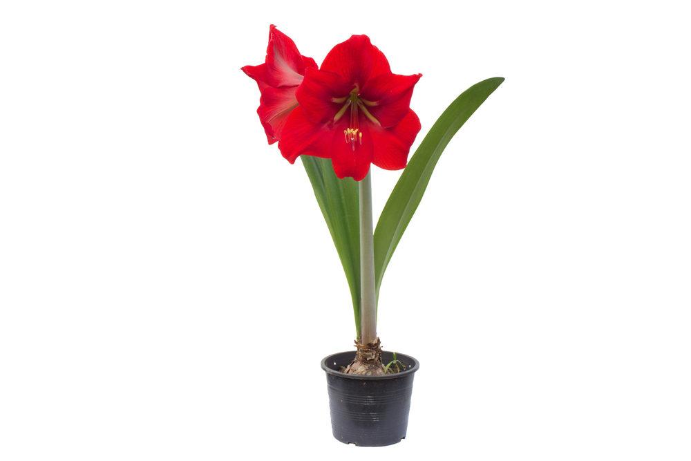 Amaryllis - rood