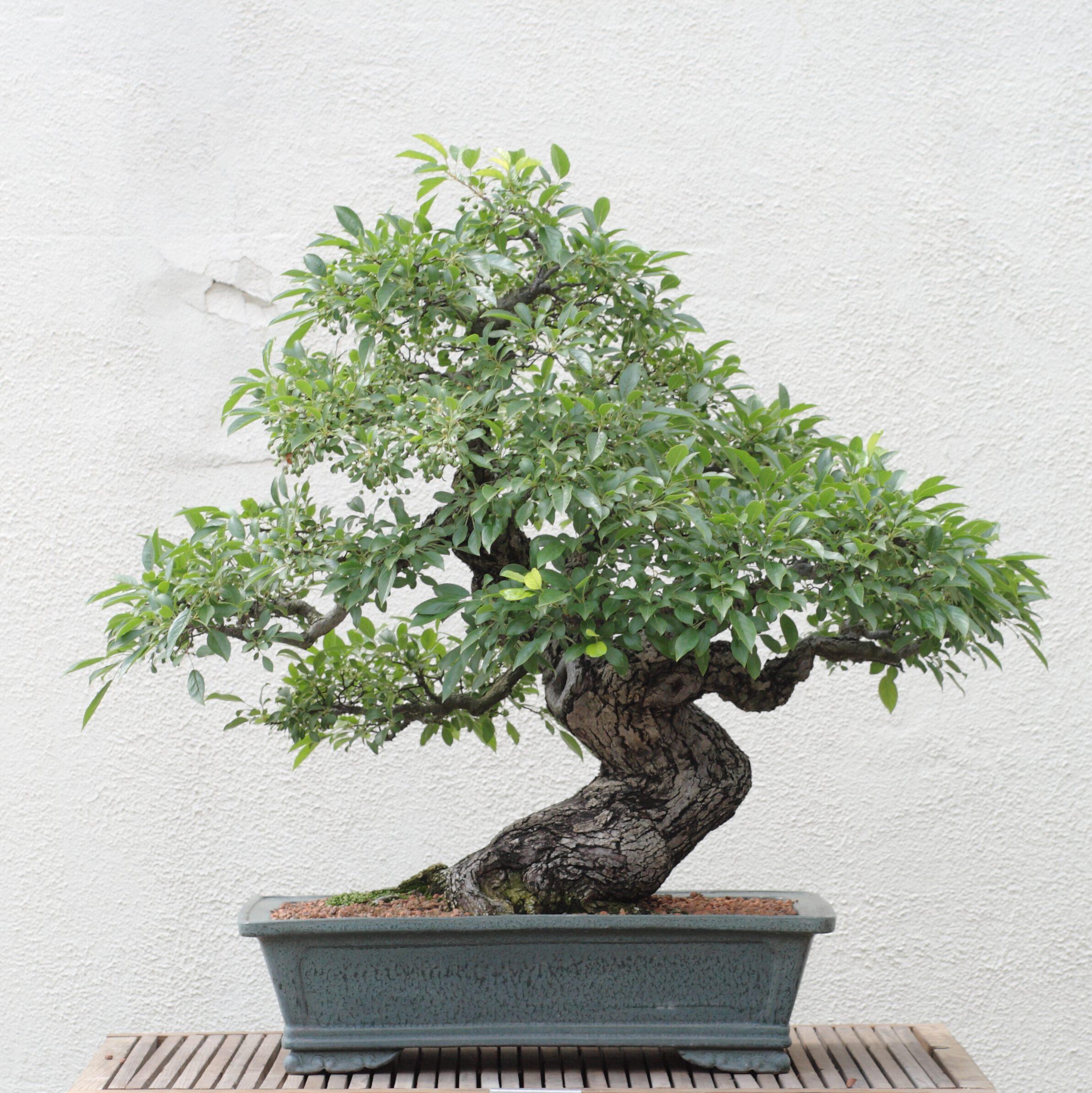 Bonsai boom - voor